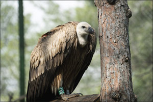 The homecoming story of an endangered vulture with Turkish Cargo.