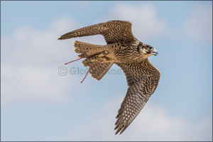 Fakhr Al Ajyal Falconry Championship launches a new category With the directions of H.H. Sheikh Hamd ...