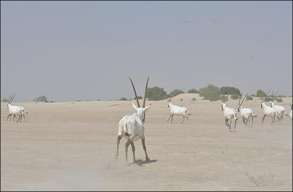 Environment Agency - Abu Dhabi Releases a New Group of Arabian Oryx in the Houbara Protected Area
