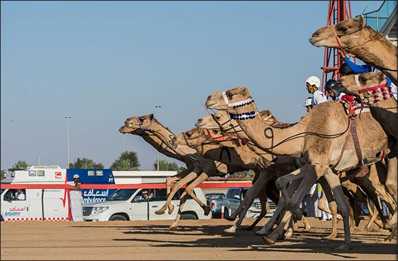 Preliminary Camel Race for the National Day Camel Marathon kick-off on Friday, 27 Nov