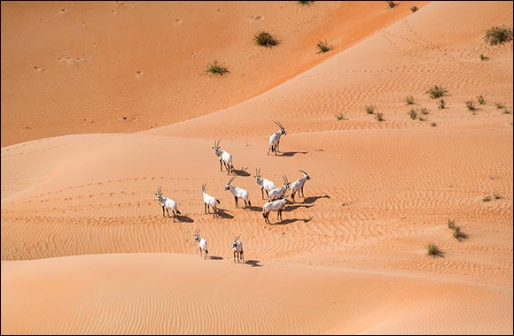 Environment Agency – Abu Dhabi Records  a 22% Increase in the Number of Arabian Oryx in the Reserve in Al Dhafra Region