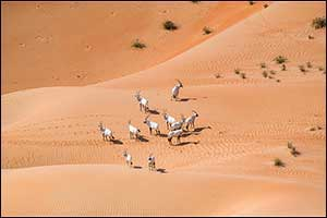 Environment Agency � Abu Dhabi Records  a 22% Increase in the Number of Arabian Oryx in the Reserve  ...