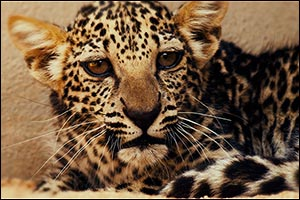 Birth of Rare Arabian Leopard Cub Marks Significant Milestone in Saving a Critically Endangered Spec ...